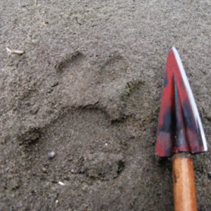 Backcountry College teaches survival skills like track ID as well. This is a cougar track. Notice the bi-lobed interdigital pad .